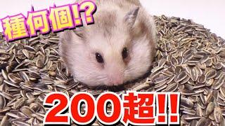 【200超え】ハムスターの口にヒマワリの種何個入るか検証してみた!! thumbnail