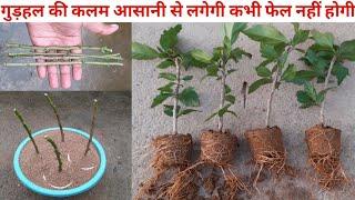इस तरीके से गुड़हल की कटिंग आसानी से लगेगी कभी फेल नहीं होगी|how to grow hibiscus plant from cutting