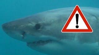 Shark Cage Diving, white Sharks in Gansbaai, South Africa - weiße Haie unter Wasser in Südafrika!