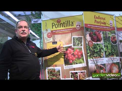 Pointilla one of the new varieties 2014