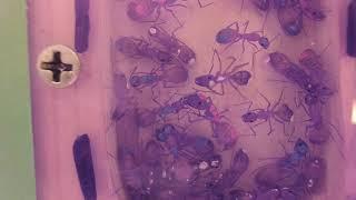 Zombie Ant Society