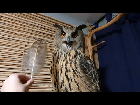 Yoll's feathers fell. Solemn entrance of an owl into the room from YouTube · Duration:  6 minutes 36 seconds