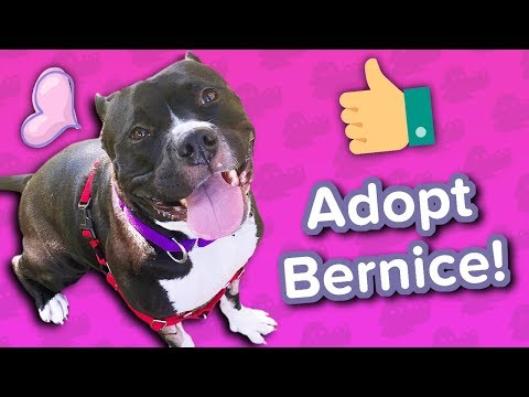 Adopt Bernice // Mini Pitbull // Adoptable Featurette