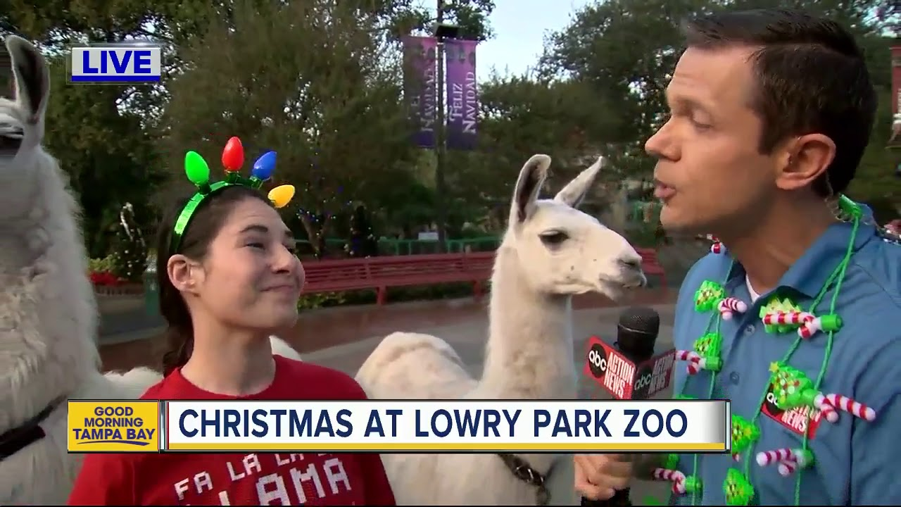 Lowry Park Zoo Christmas.Christmas At Lowry Park Zoo Greg Dee Visits For A Little Falalala Llama Fun