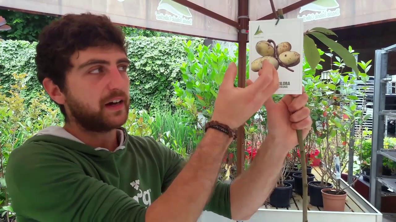 Come Coltivare Un Banano come si coltiva il banano di montagna?