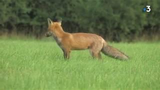 Renard roux : un collectif du Doubs prend la défense de cet animal classé nuisible
