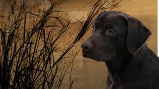 Day By Day Training A Labrador Retriever Puppy, Golden Retriever Puppy - Dvd Intro