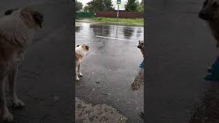 Милые собаки ждут такси.