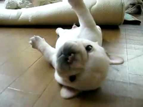 Baby French Bulldog Part 1 He Cant Get Up Youtube