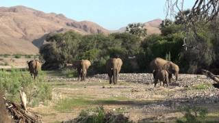 Desert Elephant tracking in north-west Namibia