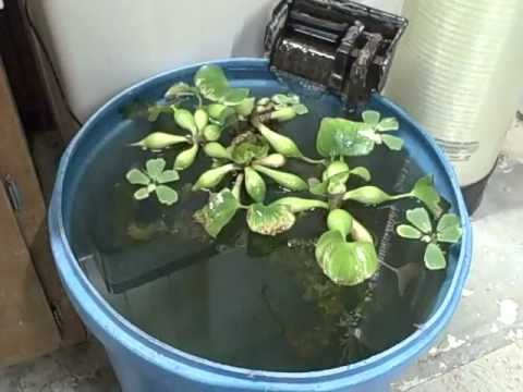 Goldfish koi time to move fish overwinter water plants for Goldfish pond plants