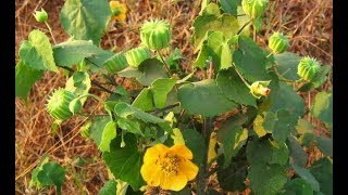 Health Benefits of Indian mallow