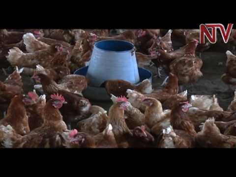 On The Farm: The benefits of the deep litter system of poultry keeping