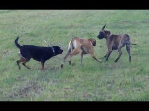 2 Great Danes VS Rottweiler - YouTube