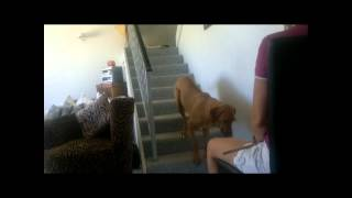 Teaching Your Dog To Walk Backwards Upstairs - The Final Product