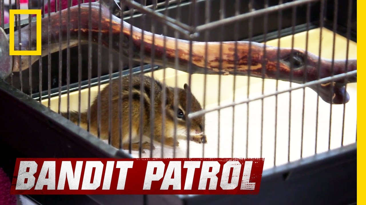 Chipmunk escape artist bandit patrol youtube chipmunk escape artist bandit patrol sciox Images