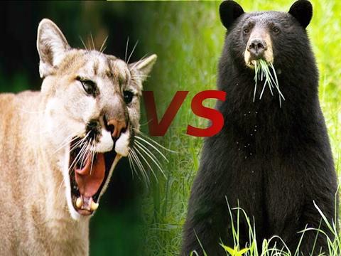 Walki Zwierząt Puma Vs Czarny Niedzwiedź Youtube
