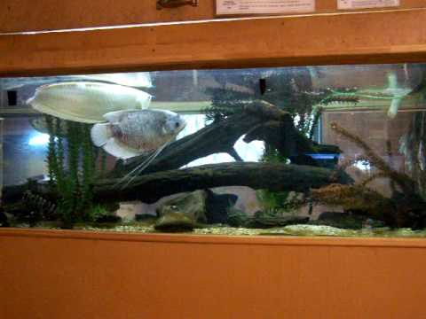 how to clean arowana fish tank