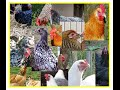 Showing a Complete List of 44 Chicken Breeds for a hobby farm