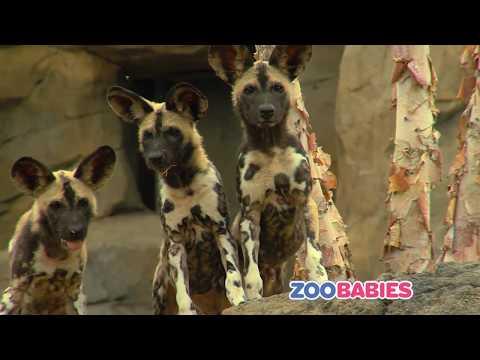 Zoo Babies Commercial 2017 - Cincinnati Zoo