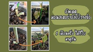 คู่มือต้นไม้ EP7 อัพเดตมอนสเตอร่าอัลโบ้วางข้อ 2 เดือน Monstera borsigiana albo budding 1.5 month
