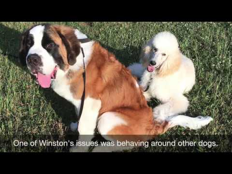 Winston, 6 month old Saint Bernard B4 and After
