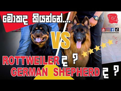 Rottweiler VS German Shepherd – මොකද කියන්නේ…? – Ceylon Pet Media