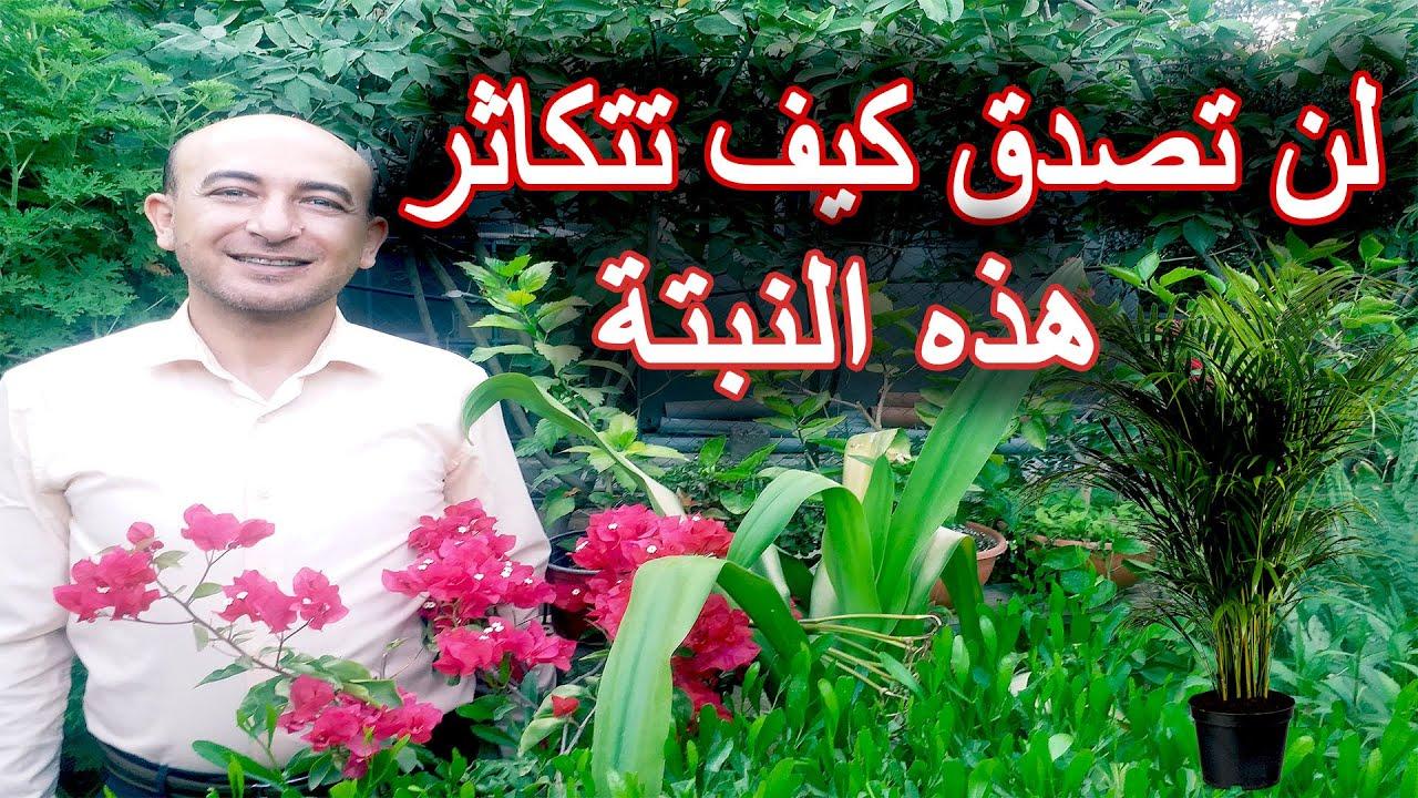 نبتة غريبة في الاكثار, رعاية و اكثار نبتة الشمسية, Umbrella Palm Care and Propagation, Cyperus Plant