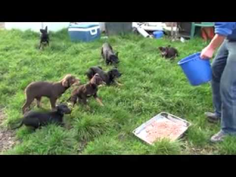 Beloka Kelpie Pups Feeding Frenzy Junior
