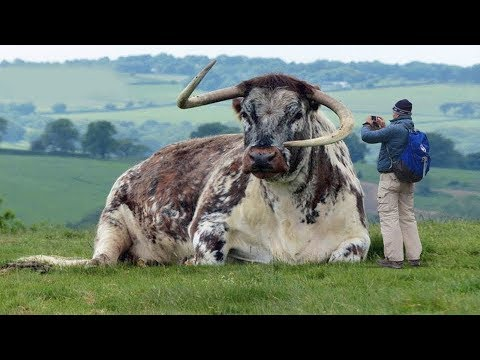15 Most Unique Bulls in the World!