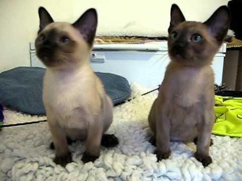 Mimaperks Tonkinese kittens playing