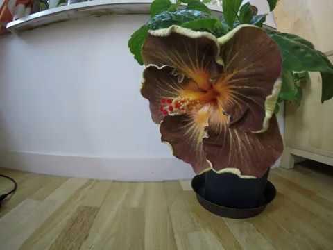 Hibiscus Flower Time Lapse Black Jack Youtube
