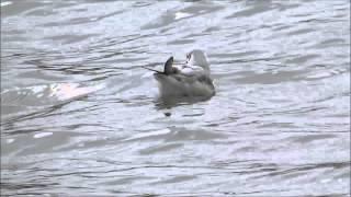 Bonaparte's Gull at Riverside Park, Southampton 9/5/15.