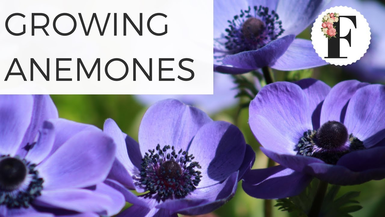 How to grow anemone coronaria corms growing flowers container how to grow anemone coronaria corms growing flowers container gardening cut flower farm spring fall mightylinksfo