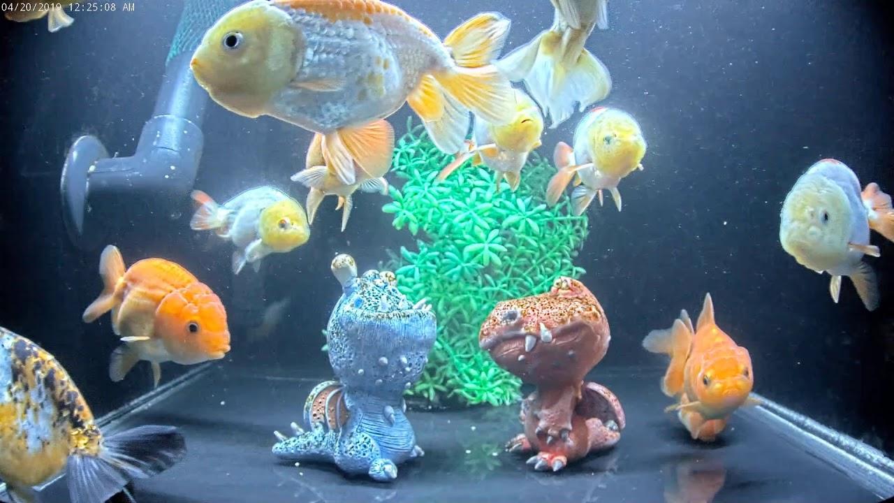 East Coast Ranchu Goldfish Live Stream CAM 2 - YouTube