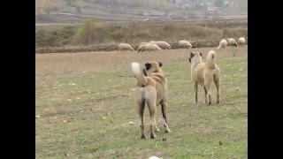 kurt avcısı kangallar/ kangal dogs and wolfs