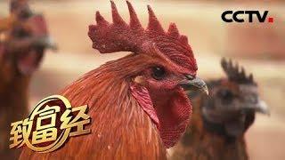 《致富经》 20190502 给鸡戴上银戒指 怪大叔怪招卖出千万财| CCTV农业