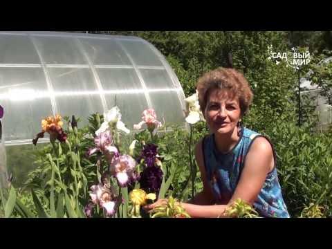 Ирисы в вашем саду. Сайт Садовый мир