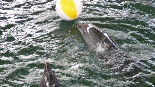Дельфины в дельфинарии 5, фигурное ныряние ➨ Dolphins in dolphinarium 5, figure diving
