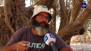 أكبر وأقدم شجرة زيتون تتحدى الاحتلال بسواعد أبوعلي (14/10/2019)
