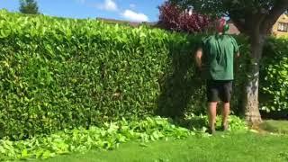 Laurel hedge being trimmed