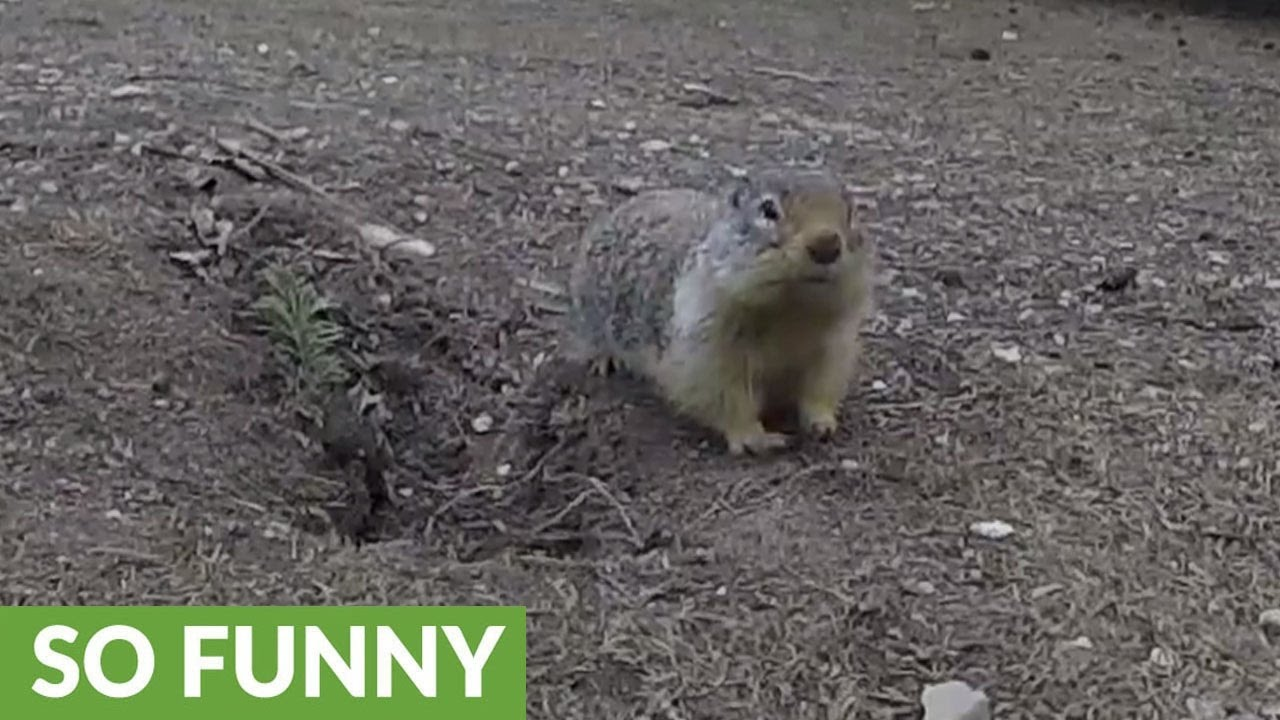gopher goes nose to nose with woman for carrot youtube