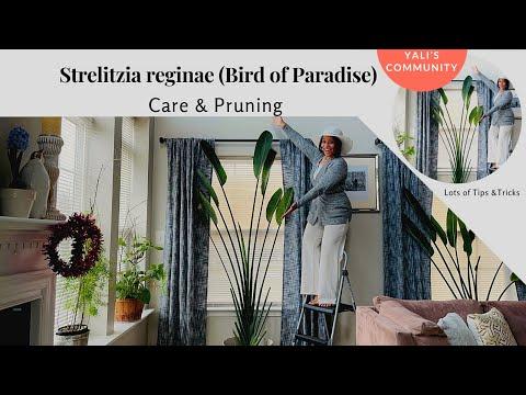 strelitzia-reginae---bird-of-paradise-care-and-pruning-//-yali's-community
