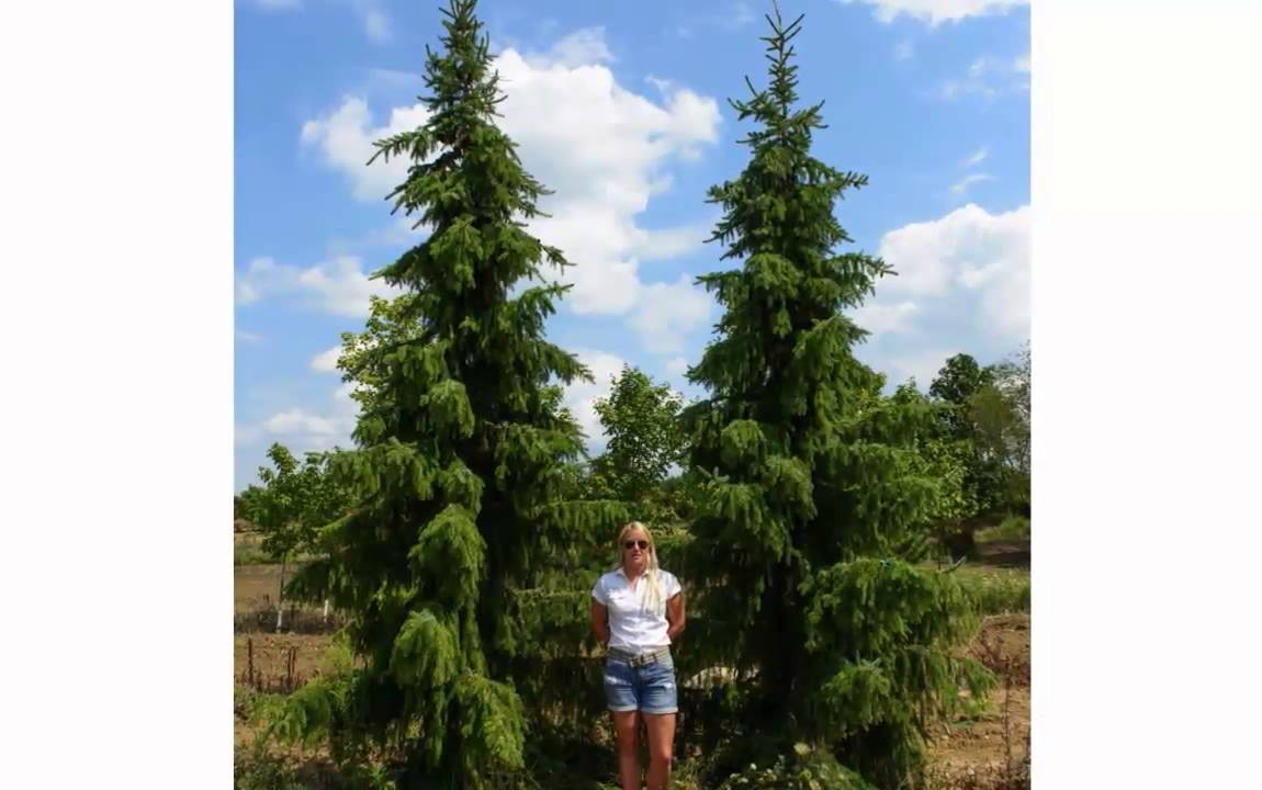Green acres tree farm youtube for Mature pine trees