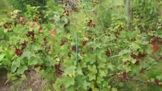 видео Тенелюбивые плодовые кустарники