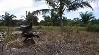 Racik Burung Ayam Ayam Dengan Lawan Buatan Part 5