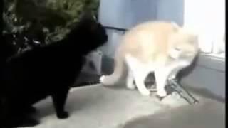 Кошки зевают