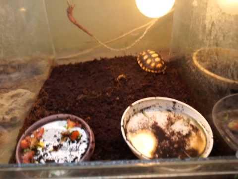 Красноногая черепаха (Chelonoidis carbonaria) - содержание .