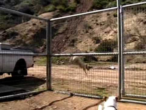 Dog Climbs Fence 7 Youtube