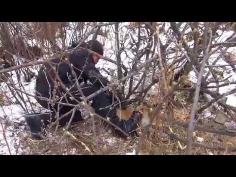 Спасение лисы из силков браконьера | Лиса в ловушке | Fox in the trap